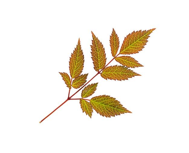 白い背景で隔離の秋の赤い葉