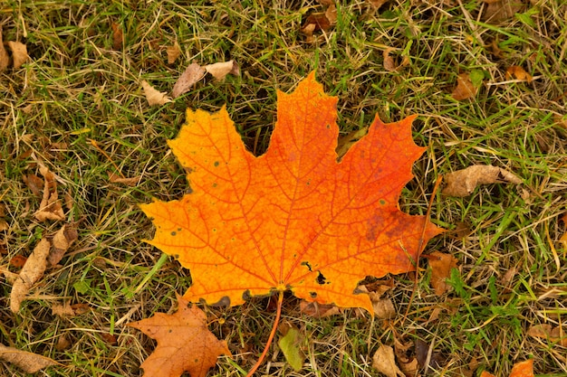 Autumn red maple leaf on green grass