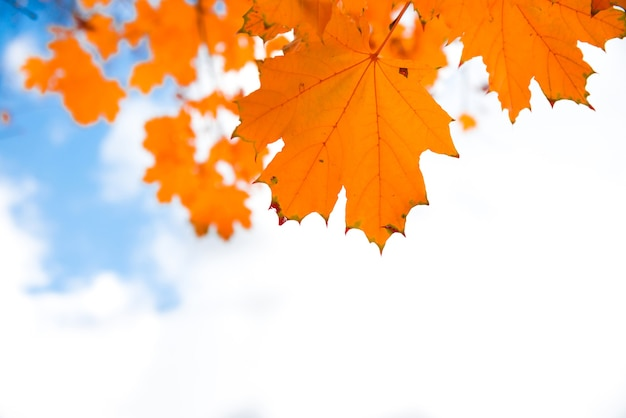 Autumn red maple leaves on the blue sky background