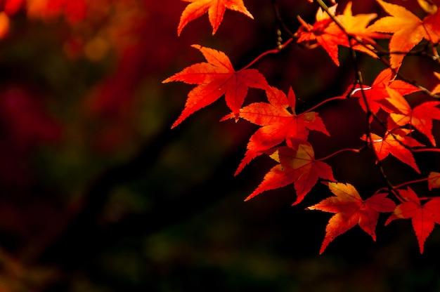 暗い背景に秋の赤い葉