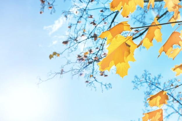 青い空の背景に秋の赤いカエデの葉