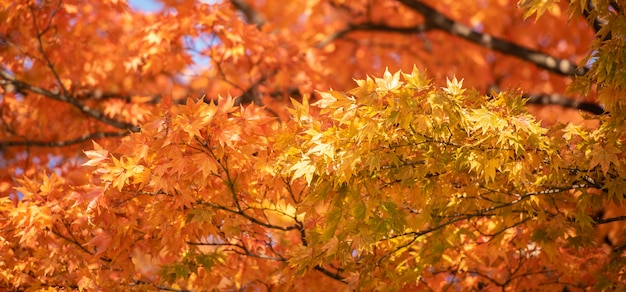 Autumn red maple leaves with copyspace background.