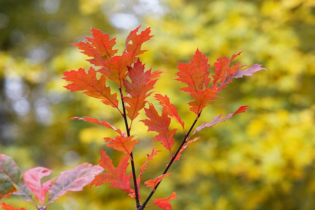 Autumn red oak leaves in the forest on a tree with blurred background