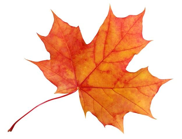 Осенний красно-оранжевый кленовый лист на белом фоне.