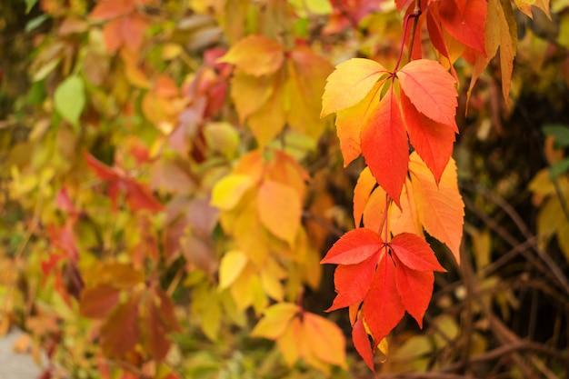 Autumn red and yellow virginia creeper, victoria creeper plant