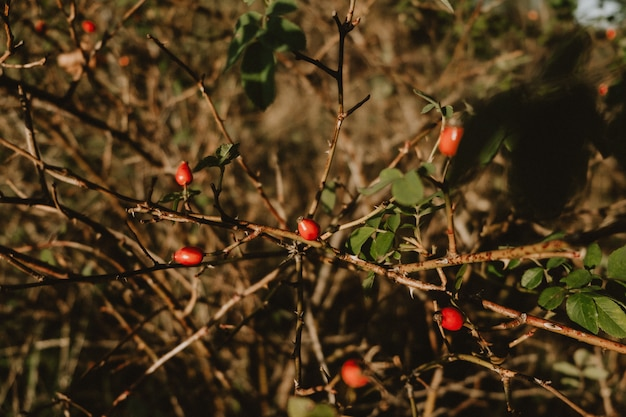 Autumn ripe red fruits of the medicinal plant wild rose