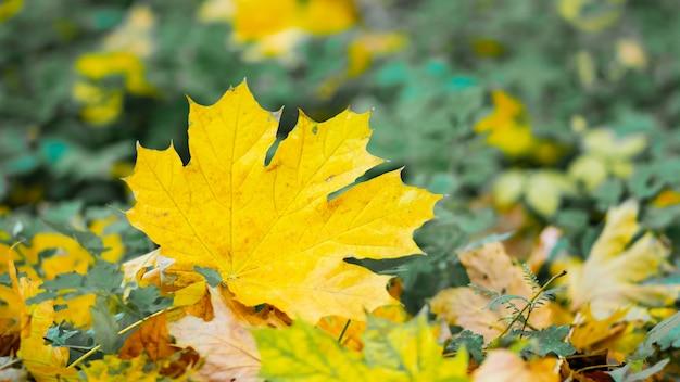 Листья осеннего сезона. опавшие кленовые листья в лесу. золотой кленовый лист на размытом желтом фоне.
