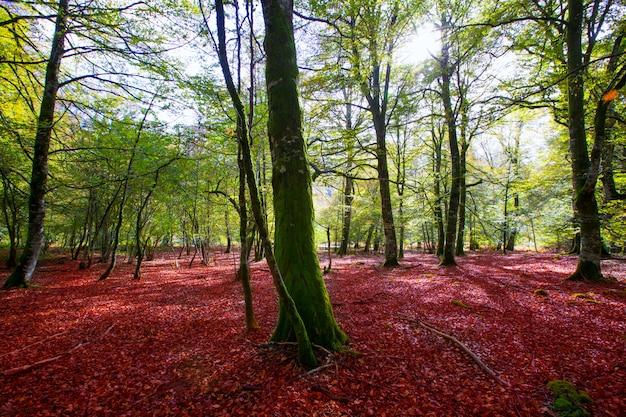 나바라 피레네 산맥 스페인의 가을 셀바 데 irati 너도밤 나무 정글