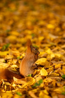 Autumn. a squirrel sits on fallen leaves and eats a walnut. close-up portrait. sunny day