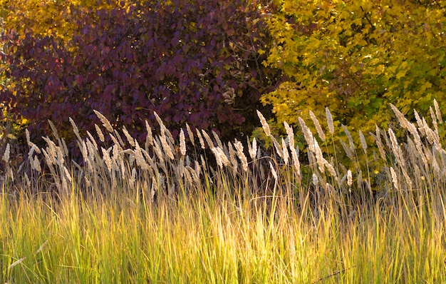 Autumn stems of dry grass