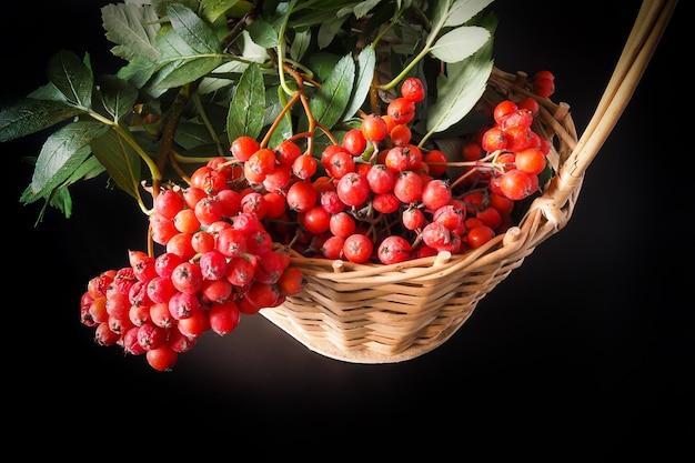 붉은 산 애쉬 열매 선택적 초점의 무리와 함께 가을 정물 고리 버들 바구니