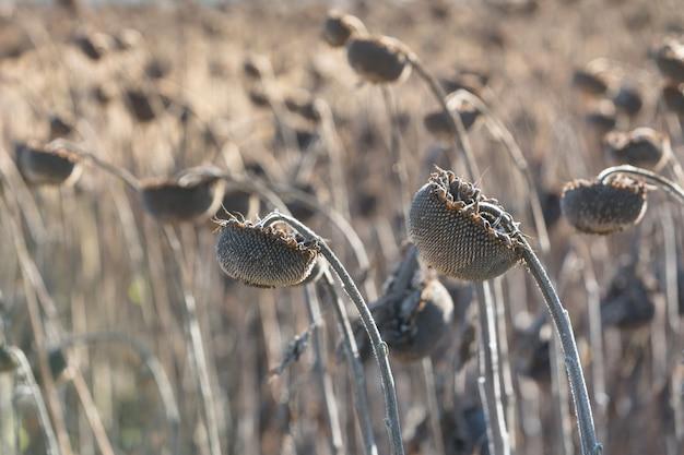 晴れた日の収穫前の秋のヒマワリ。熟した乾燥したひまわりのクローズアップ