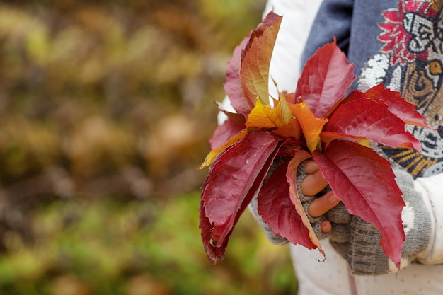 Autumn time. girl 's hands holding a bouquet of colorfull  leaves  of maiden grapes. close up image. copy space