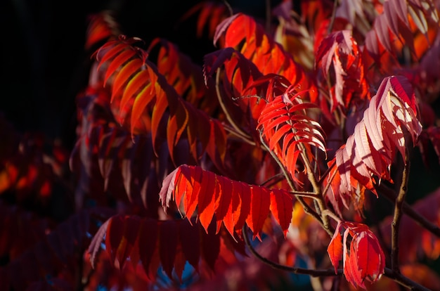 Autumn tree with big bright leaves.