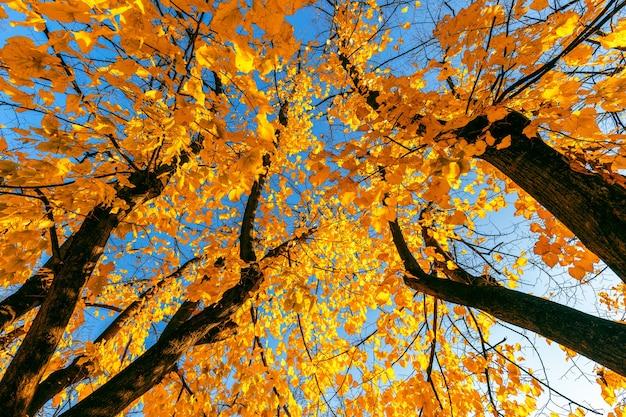 Осеннее дерево с ярко-желтой листвой на фоне голубого неба.