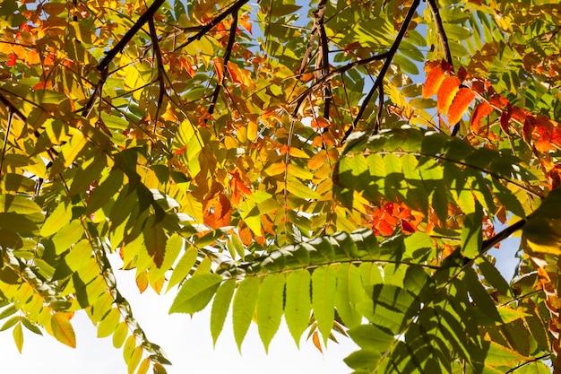 紅葉のある紅葉、紅葉期の落葉樹のクローズアップ、自然