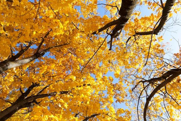黄色の葉を持つ秋の木