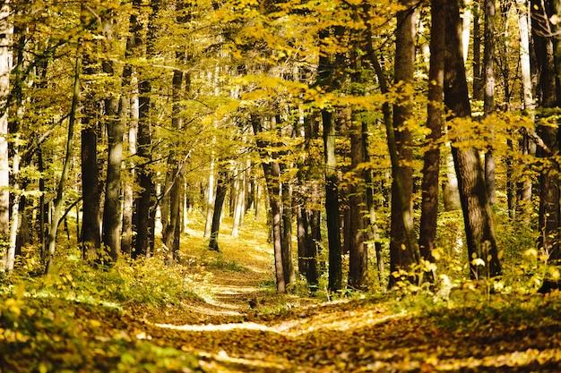 金色の葉と森に続く歩道のある森の秋の木々