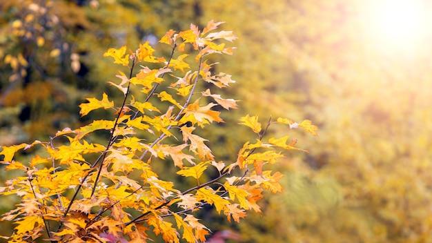 ぼやけた背景の森の色とりどりの赤いカシの葉と秋の景色。秋の背景