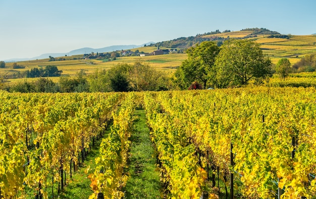 Осенние виноградники в верхнем рейне - гранд эст, франция