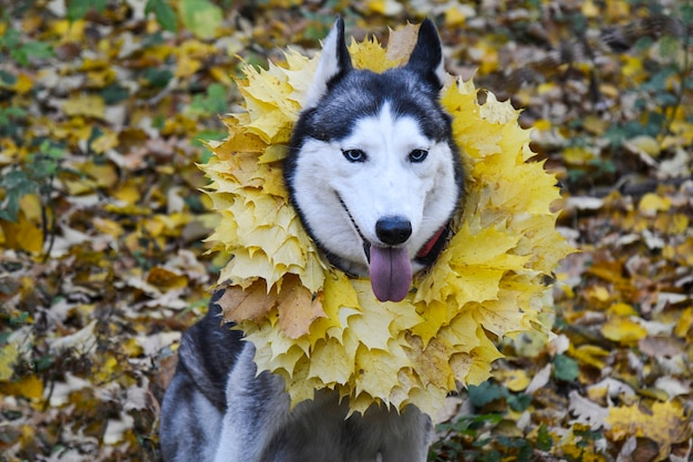 Autumn. walk in the woods with a pet.