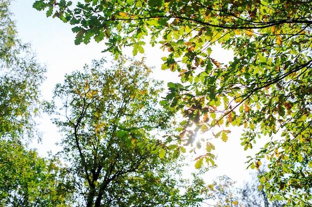 Осенний лес стены с кленовыми красными желтыми листьями
