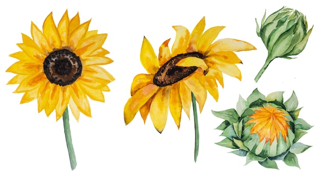 Autumn watercolor collection with yellow sunflowers isolated set