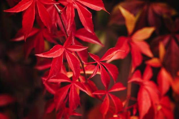 Autumn wildgrape leaves. colorful leaves of creeper plant
