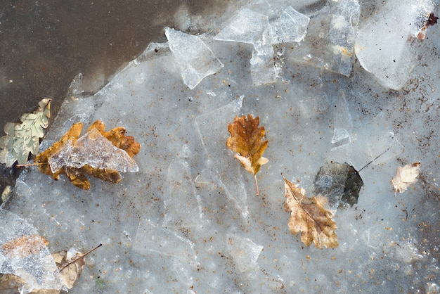 Autumn to winter. leaves of the trees in the early days of winter. frozen maple leaves in snow.