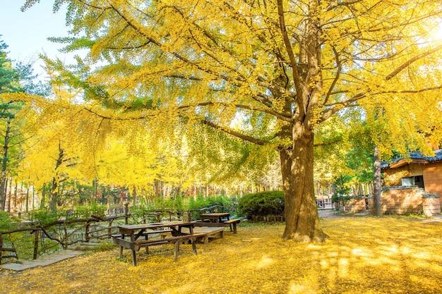 韓国、南怡島のイチョウの木と秋。
