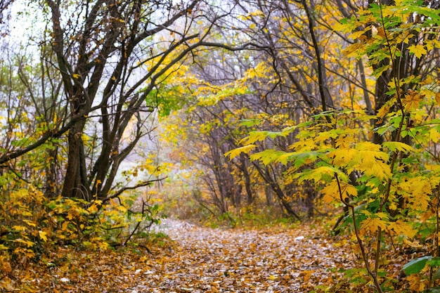 Autumn wood with a small maple tree near a winding road_