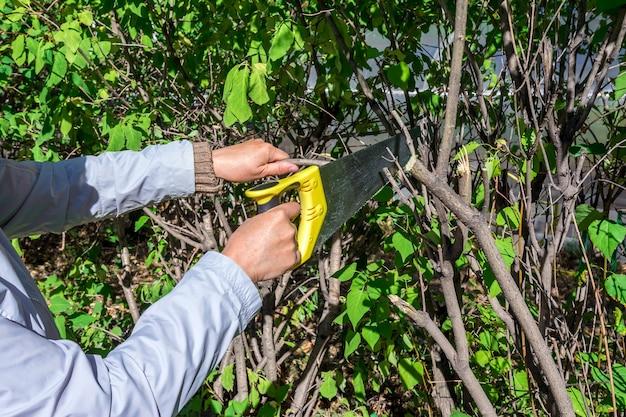 庭での秋の仕事女性の庭師が観賞用低木の乾燥した枝を切り倒します