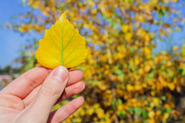 Autumn yellow birch leaf in hand, the beginning of autumn.