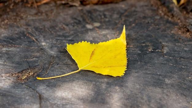 森の切り株に秋の黄色の白樺の葉