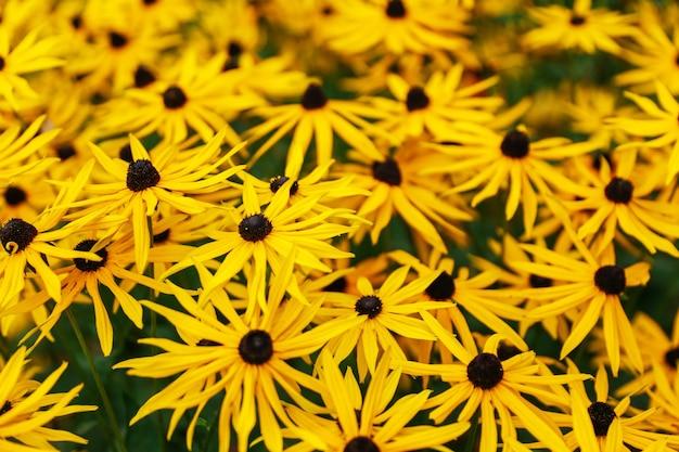 Autumn yellow flowers rudbeckia