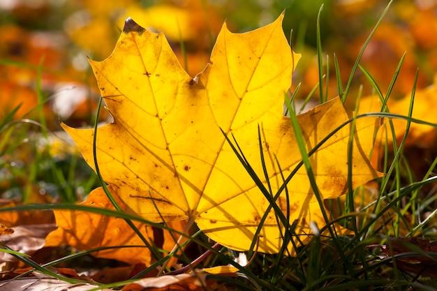 葉の落下中の紅葉、公園の自然の中で草に落ちた、クローズアップ