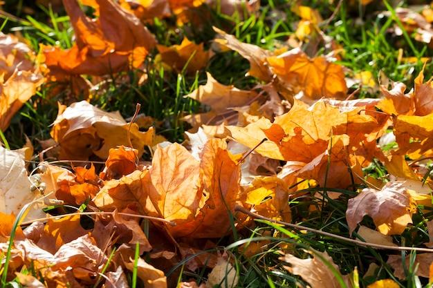 Осенняя желтая листва во время листопада