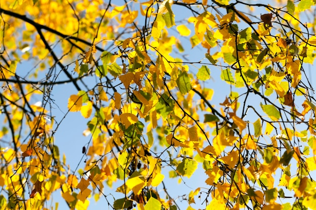 Осенняя желтая листва