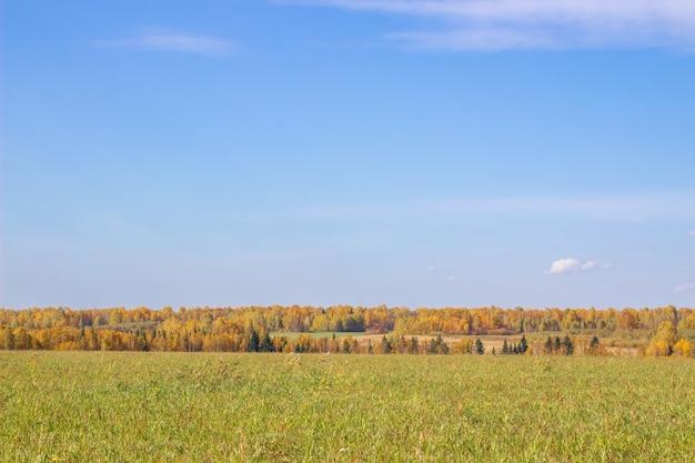 Осенний желтый лес и поле. голубое небо с облаками над лесом. красота природы осенью.