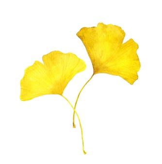 秋の黄色いイチョウの葉。季節の水彩イラスト