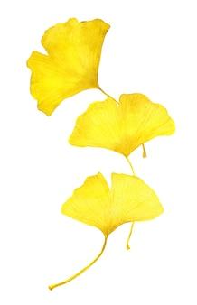 가을 노란 은행 나무 잎. 수채화 계절 그림