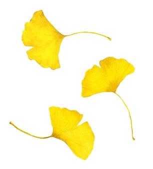 秋の黄色いイチョウの葉。