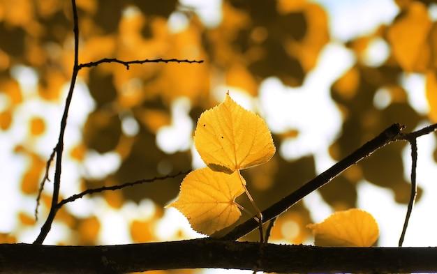 가을 노란 잎 백라이트