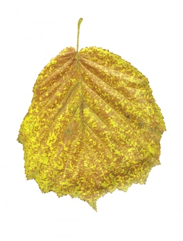 Autumn yellow leaf of black alder isolated on white