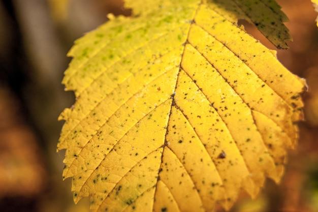 秋の黄葉のクローズアップ
