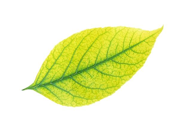 Autumn yellow leaf isolated on white background
