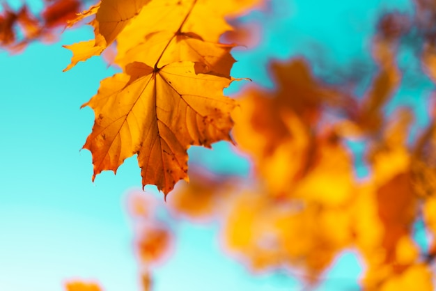 Autumn yellow leaves on blue sky background. golden autumn concept.