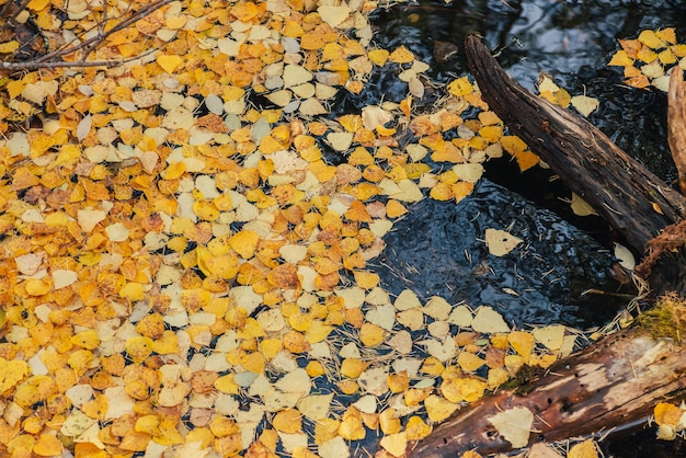 秋の黄色の葉は、金色の日差しの中で引っ掛かりの近くの背水に浮かんでいます。金色の日差しの中で水面に黄色い紅葉。秋の時間に水に落ち葉と日当たりの良い美しい自然の背景