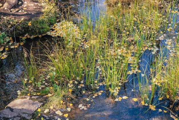 秋の黄色の葉は、黄金の日差しの中で草の間の浅い背水に浮かんでいます。日光の下で水面に黄色い紅葉。秋の水に落ち葉と日当たりの良い美しい自然の背景