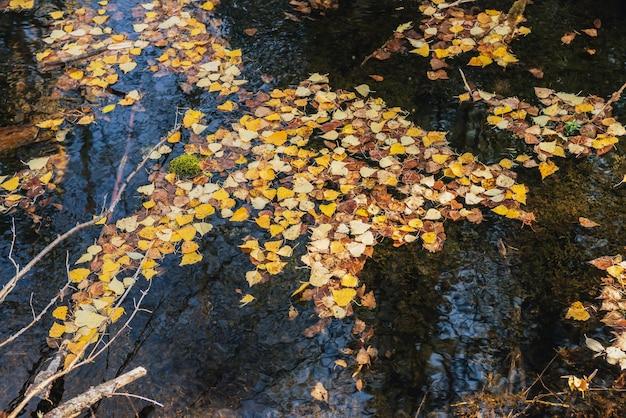 秋の黄色の葉は、黄金の日差しの中で浅い背水に浮かんでいます。金色の日差しの中で水面に黄色い紅葉。水に落ち葉と日当たりの良い美しい自然の背景。秋の背景